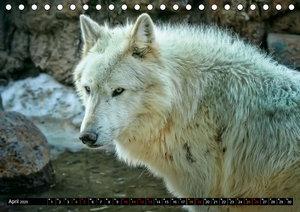 Wölfe - sie sind wieder da