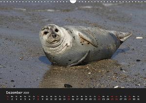Kegelrobben und Seehunde (Wandkalender 2019 DIN A3 quer)
