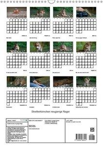 Streifenhörnchen - neugierige Nager (Wandkalender 2019 DIN A3 ho