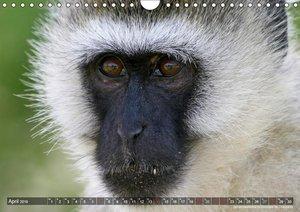 blick kontakt mit tieren im südlichen afrika (Wandkalender 2019