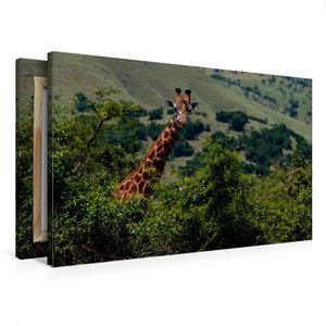 Premium Textil-Leinwand 75 cm x 50 cm quer Neugierige Giraffe