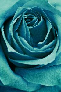 Premium Textil-Leinwand 50 cm x 75 cm hoch Rose