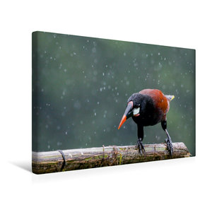 Premium Textil-Leinwand 45 cm x 30 cm quer Montezuma Stirnvogel