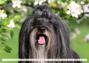 Tibet Terrier Theo