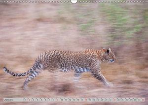 Emotionale Momente: Leoparden / CH-Version (Wandkalender 2019 DI