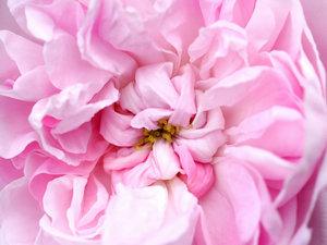 CALVENDO Puzzle Rosa \'Fantin Latour\' 1000 Teile Lege-Größe 64