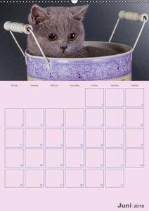 Britisch Kurzhaar Katzen - Planer