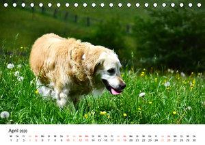 Eine treue Hundeseele - Golden Retriever (Tischkalender 2020 DIN