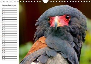 Greifvögel, Eulen und Käuze (Wandkalender 2019 DIN A4 quer)