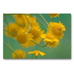 Premium Textil-Leinwand 90 cm x 60 cm quer Gelbe Magerite