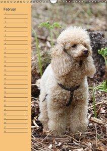 Pudel / Geburtstagskalender (Wandkalender immerwährend DIN A3 ho