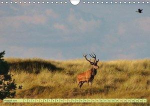 Küsten Hirsche - Rotwild auf dem Darss