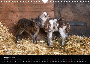 Schafe und Lämmer