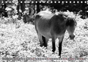 Die letzten Wildpferde Exmoor Ponys