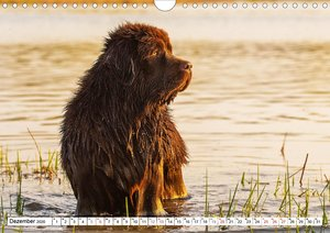 Neufundländer - Ein bärenstarker Freund