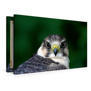 Premium Textil-Leinwand 90 cm x 60 cm quer Falke