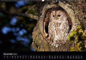 Waldkäuze, fotografiert in München (Wandkalender 2019 DIN A2 que