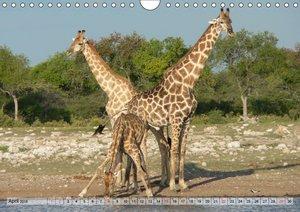 Giraffen. Dem Himmel so nah