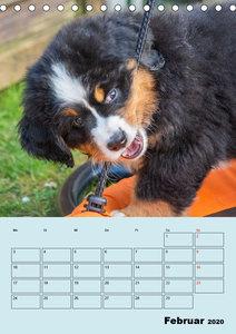 Familienplaner Berner Sennenhund Welpen