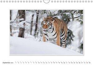 Emotionale Momente: Tiger - Kraft & Schönheit. / CH-Version (Wan