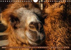 Kamele . Dromedar & Trampeltier (Wandkalender 2019 DIN A4 quer)