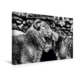 Premium Textil-Leinwand 45 cm x 30 cm quer Schafe