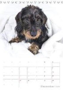 Der Dackel (M)ein treuer Weggefährte (Tischkalender 2019 DIN A5