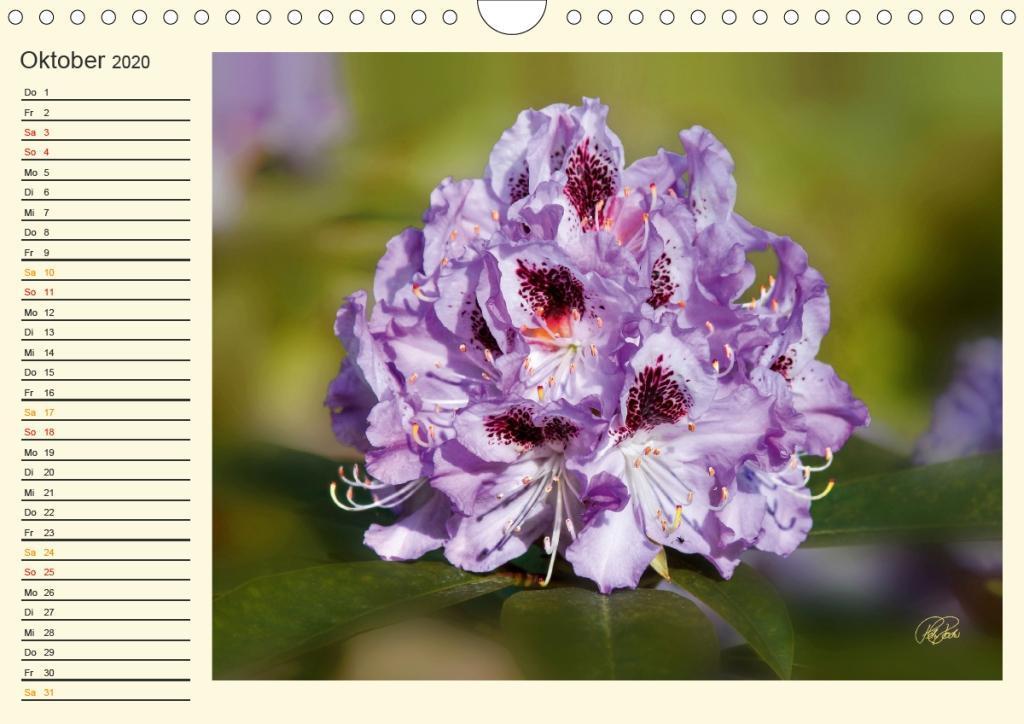 Rhododendren in der Parklandschaft Ammerland / Geburtstagskalend - zum Schließen ins Bild klicken