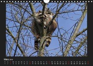 Waschbären (Wandkalender 2019 DIN A4 quer)
