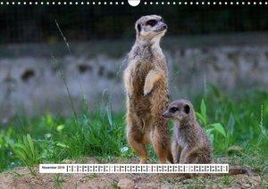 Erdmännchen - Die Kobolde im Tierreich (Wandkalender 2019 DIN A3