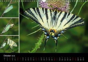 Schmetterlinge - Wunder der Verwandlung