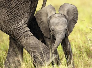 Elefantenbaby. Puzzle 500 Teile
