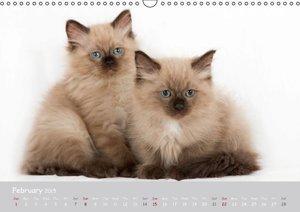Amazing Ragdoll Kittens (Wall Calendar 2015 DIN A3 Landscape)