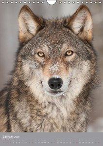Wolf-Gesichter (Wandkalender 2016 DIN A4 hoch)
