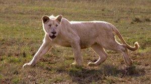 Der weisse Löwe 3D