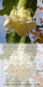 Brugmansia and Datura Beauties (Wall Calendar 2015 300 × 300 mm