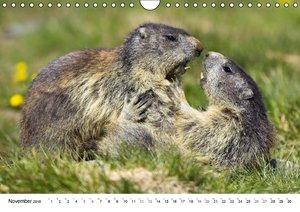 Murmeltiere in den Alpen (Wandkalender 2016 DIN A4 quer)