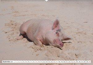 Schweine im Dauerurlaub auf den Bahamas!