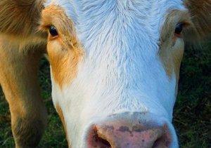 Rinder . Kuh & Bullen-Gesichter (Tischaufsteller DIN A5 quer)
