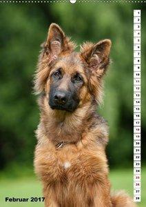 Schäferhunde Langstockhaar zum verlieben (Wandkalender 2017 DIN