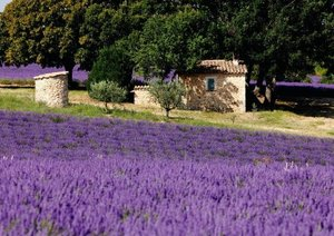 Lavendel in der Provence (Posterbuch DIN A3 quer)
