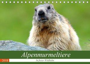 Alpenmurmeltiere in freier Wildbahn