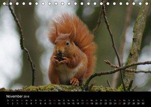 Eichhörnchen - Kleine Kobolde