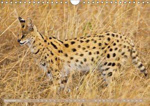Raubkatzen: Geschmeidige Jäger