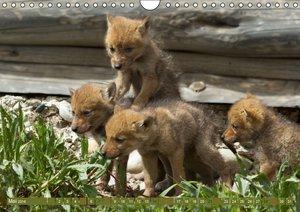 Bär, Wolf und Co - Tiere Nordamerikas (Wandkalender 2016 DIN A4