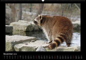 Waschbären (Wandkalender 2016 DIN A2 quer)