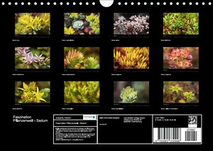 Faszination Pflanzenwelt - Sedum