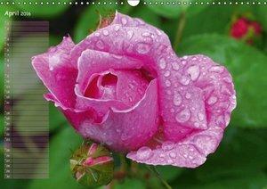 Lass Rosen sprechen (Wandkalender 2016 DIN A3 quer)