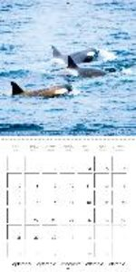 Orcas: Black and white giants (Wall Calendar 2015 300 × 300 mm S