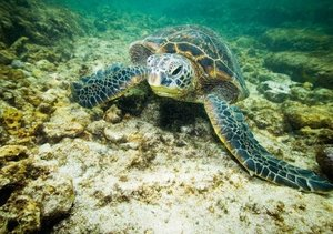 In der Schwebe - Meeresschildkröten (Tischaufsteller DIN A5 quer